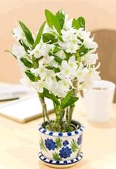 の 方 育て ラン 洋 ラン(蘭)の育て方・お手入れ方法一覧【種類別】|花のギフトはWFS